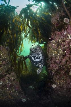 Grey Seal (Halichoerus Grypus) in a Gully Beneath Kelp (Laminaria Digitata), Farne Islands, UK by Alex Mustard