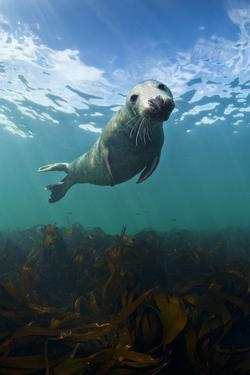 Grey Seal (Halichoerus Grypus) Portrait Underwater, Farne Islands, Northumberland, England, UK by Alex Mustard