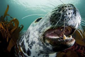 Grey Seal (Halichoerus Grypus) Shows its Teeth, Lundy Island, Bristol Channel, England by Alex Mustard
