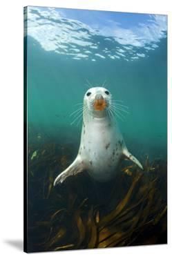 Grey Seal (Halichoerus Grypus) Underwater Amongst Kelp. Farne Islands, Northumberland, England by Alex Mustard