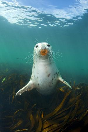 Grey Seal (Halichoerus Grypus) Underwater Amongst Kelp. Farne Islands, Northumberland, England