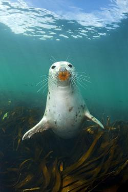 Grey Seal (Halichoerus Grypus) Underwater Amongst Kelp. Farne Islands, Northumberland, England by Alex Mustard