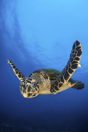 Hawksbill Turtle (Eretmochelys Imbricata) Male Swimming in Open Water Above a Coral Reef