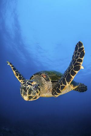 Hawksbill Turtle (Eretmochelys Imbricata) Male Swimming in Open Water Above a Coral Reef by Alex Mustard