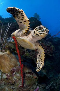 Hawksbill Turtle (Eretmochelys Imbricata) on a Reef Wall with a Rope Sponge by Alex Mustard