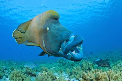Large Male Napoleon Wrasse (Cheilinus Undulatus) Yawning. Ras Mohammed, Sinai, Egypt. Red Sea by Alex Mustard