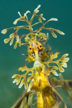 Leafy Seadragon (Phycodurus Eques). Wool Bay Jetty, Edithburgh, Yorke Peninsula, South Australia by Alex Mustard