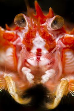 Long-Clawed Squat Lobster (Munida Rugosa) Portrait, Loch Fyne, Argyll and Bute, Scotland, UK, June by Alex Mustard