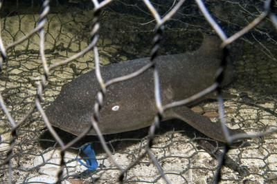 Nurse Shark (Ginglymostoma Cirratum) Young Caught in a Fishtrap by Alex Mustard