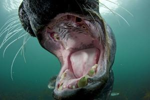 Old Male Grey Seal (Halichoerus Grypus) with Mouth Open Showing Teeth, Lundy Island, England, UK by Alex Mustard