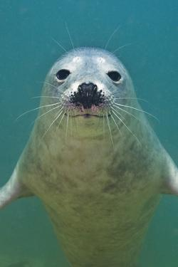 Portrait of a Young Grey Seal (Halichoerus Grypus) Farne Islands, Northumberland, UK, North Sea by Alex Mustard