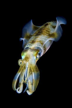Portrait of Bigfin Squid (Sepioteuthis Lessoniana) Hovering