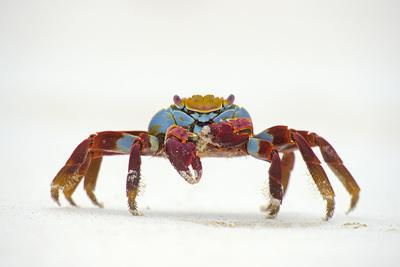Portrait of Sally Lightfoot Crab (Grapsus Grapsus) on a Beach