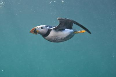 Puffin (Fratercula Arctica) Swimming Underwater, Farne Islands, Northumberland, UK, July by Alex Mustard