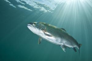 Rainbow Trout (Oncorhynchus Mykiss) in Lake, Capernwray, Lancashire, UK, July by Alex Mustard