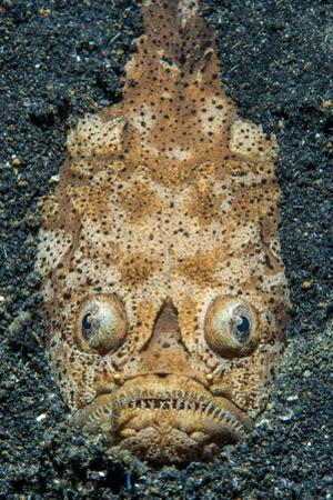 Reticulate Stargazer (Uranoscopus Sp.) by Alex Mustard