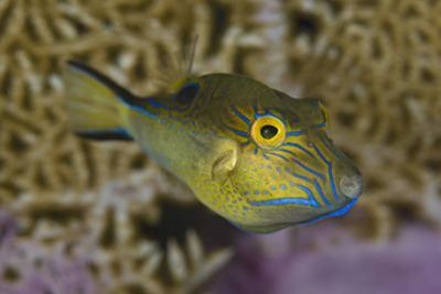 Sharpnose Puffer (Canthigaster Rostrata) Displaying Bright Colours Including A Bright Blue Flap by Alex Mustard
