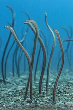 Spaghetti Garden Eels (Gorgasia Maculata) Stretching Up Out of their Burrows on a Rubble Slope