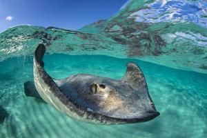 Split Level Image of a Southern Stingray (Dasyatis Americana) Swimming over a Sand Bar by Alex Mustard