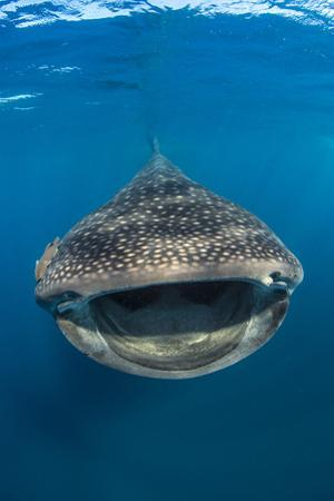 Whaleshark (Rhincodon Typus) Swimming And Filtering Fish Eggs From The Water by Alex Mustard