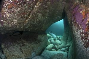 Young Grey Seal (Halichoerus Grypus) Exploring an Underwater Cave, Lundy Island, Devon, UK by Alex Mustard