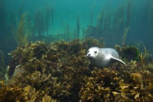 Young Grey Seal (Halichoerus Grypus) Resting on a Bed of Seaweed, Inner Hebrides, Scotland, UK by Alex Mustard