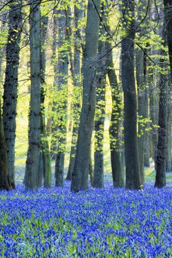 Ancient Bluebell Woodland in Spring by Alex Robinson