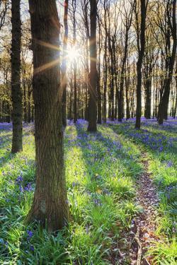 Europe, United Kingdom, England, Hertfordshire, Berkhamsted, Ashridge Estate, Dockey Wood by Alex Robinson