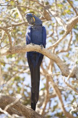 Hyacinth Macaw (Anodorhynchus Hyacinthinus) (Hyacinthine Macaw), Brazil, South America by Alex Robinson