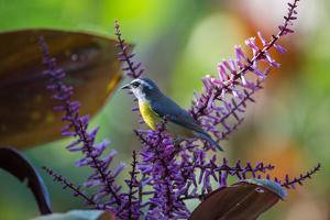 A Bananaquit Feeds from a Purple Flowering Plant in the Atlantic Rainforest by Alex Saberi