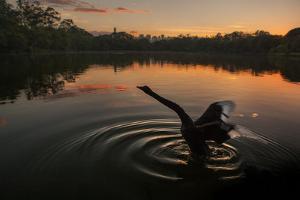 A Black Swan, Cygnus Atratus, Stretching at Sunrise in Ibirapuera Park by Alex Saberi