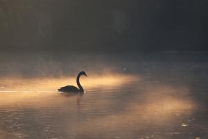 A Black Swan Glides Through Golden Sunrise Mists of Ibirapuera Park by Alex Saberi