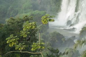 A Black Vulture, Coragyps Atratus, Resting on a Branch Near a Waterfall in Iguacu Falls by Alex Saberi
