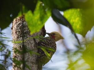 A Blond-Crested Woodpecker, Celeus Flavescens, Pecks a Tree by Iguazu Falls by Alex Saberi