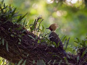 A Blond-Crested Woodpecker, Celeus Flavescens, Sits on a Branch at Sunset in Ibirapuera Park by Alex Saberi
