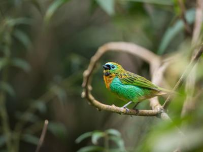 A Brassy-Breasted Tanager, Tangara Desmaresti, Perches on a Branch in the Jungle by Alex Saberi