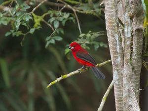 A Brazilian Tanager Perches on a Tree in Ubatuba by Alex Saberi