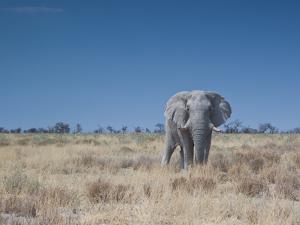A Bull Elephant, Loxodonta Africana, Stares at the Camera in Etosha National Park by Alex Saberi