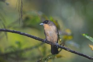 A Burnished Buff Tanager Perches in a Tree in Ubatuba by Alex Saberi