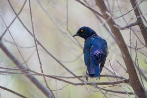 A Cape Glossy Starling, Lamprotornis Nitens, Rests on a Branch in Etosha National Park by Alex Saberi
