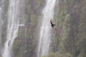 A Caracara Flies Past Iguacu Falls by Alex Saberi