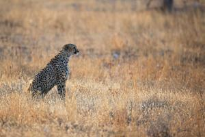 A Cheetah, Acinonyx Jubatus, on the Lookout for a Nearby Leopard at Sunset by Alex Saberi