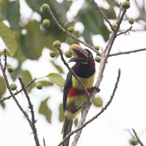 A Chestnut-Eared Aracari, Pteroglossus Castanotis, Eats from a Tree by Alex Saberi