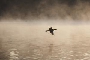A Cormorant Flies over a Misty Lake at Sunrise by Alex Saberi