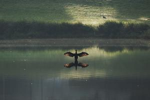A Cormorant (Phalacrocorax Auritus) Stretches its Wings to Dry Them During Sunrise by Alex Saberi