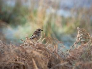 A European Stonechat Rests for a Moment on a Bracken Pile in Richmond Park by Alex Saberi