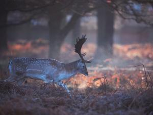 A Fallow Deer in the Early Morning Winter Mist in Richmond Park by Alex Saberi