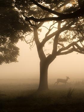 A Fallow Deer Runs Through Richmond Park on a Misty Morning in Autumn by Alex Saberi