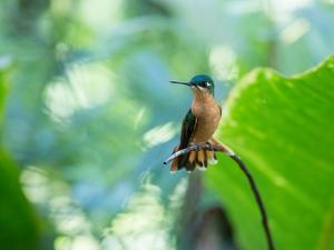 A Female Brazilian Ruby, Clytolaema Rubricauda, Hummingbird Perching on Twig by Alex Saberi
