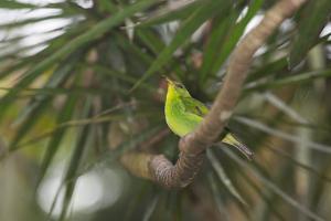 A Female Green Honeycreeper, Chlorophanes Spiza, Perching in a Tree in Ubatuba by Alex Saberi